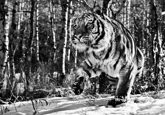 David-Yarrow-Tigre-Siberiano