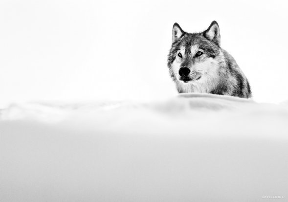 David Yarrow - Focused wolf