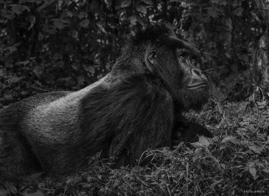 David Yarrow Fotografia Gorilas