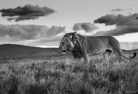 David Yarrow fotografias de leones en venta